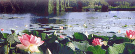 tropical lotus liilies on the lakes at the Court d'Aron.