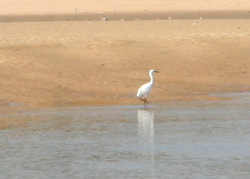 Egret fishing on the river Payre